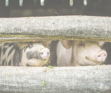 Publicity Services for Rabies and Classical Swine Fever Vaccination Campaigns